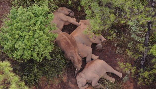 Schlafende Elefanten in China