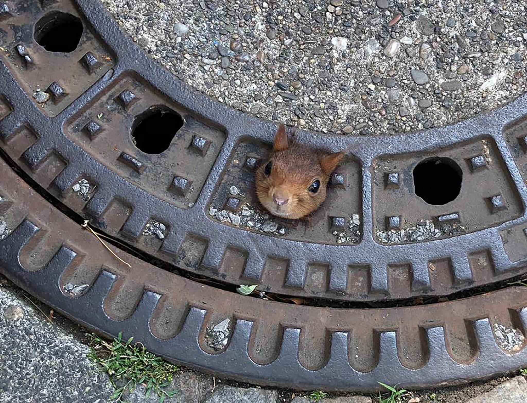 Bild zu Eichhörnchen steckt in Gullydeckel fest
