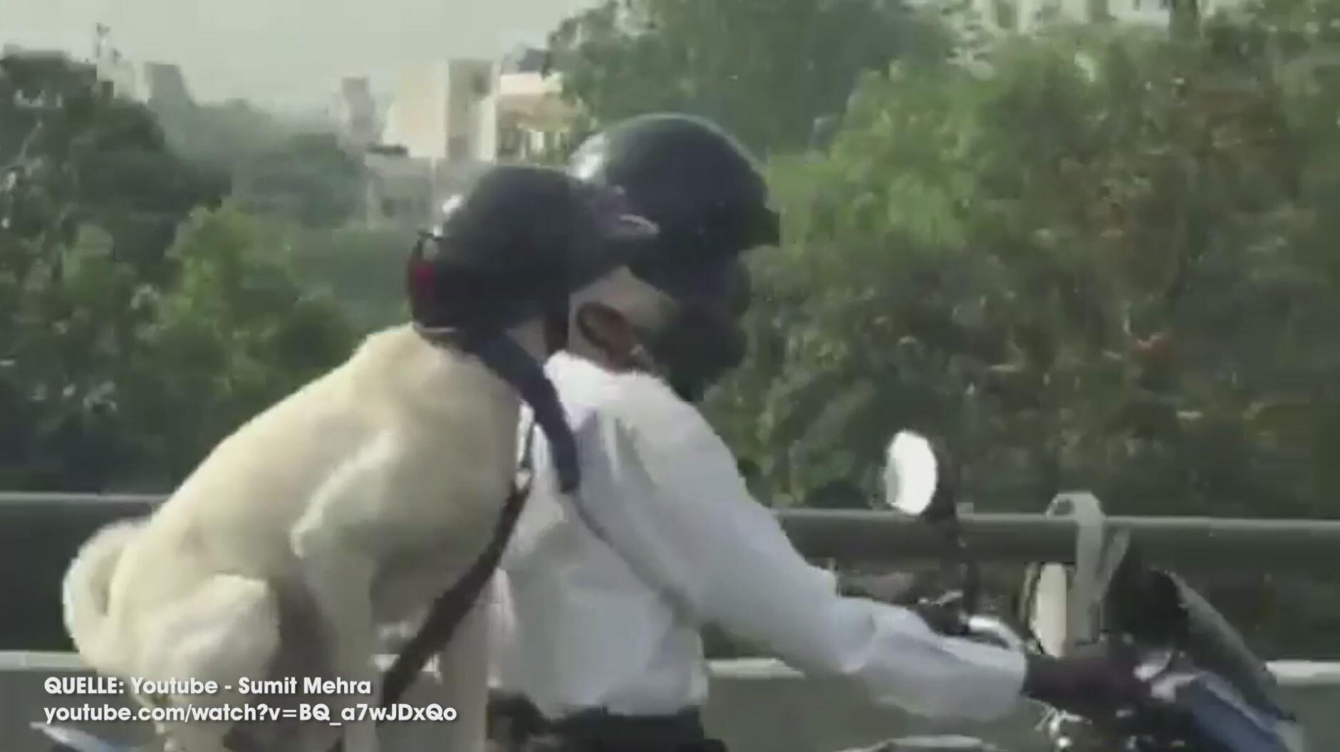 Bild zu Hund mit Helm