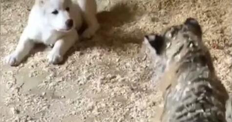 Tigerbaby, Hundejunges, Freundschaft, Zoo, Wladiwostok