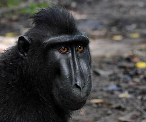 Bizarrer Streit um Affen-Selfie