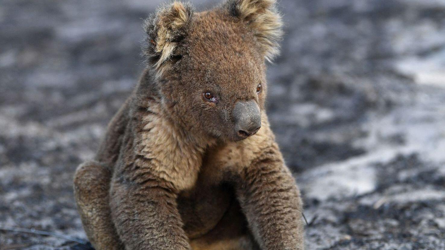 Bild zu Hund rettet mehr als 100 Koalas