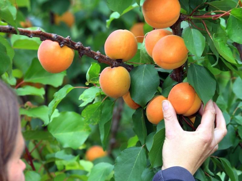 Bild zu Aprikosen-Dieb