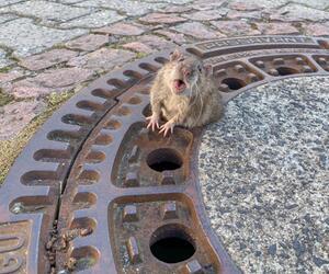Ratte aus Gullydeckel befreit