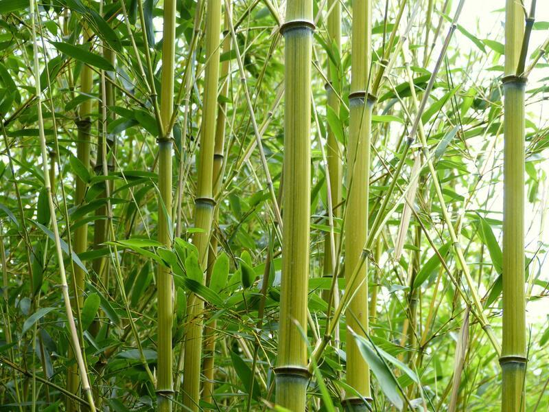 Bild zu Bambus des Jahres 2013: Phyllostachys aureosulcata 'Harbin inversa'