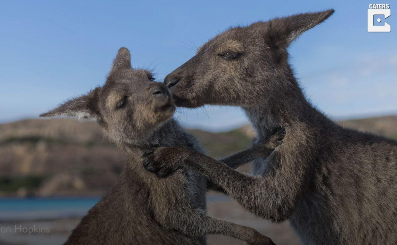 Bild zu Känguru