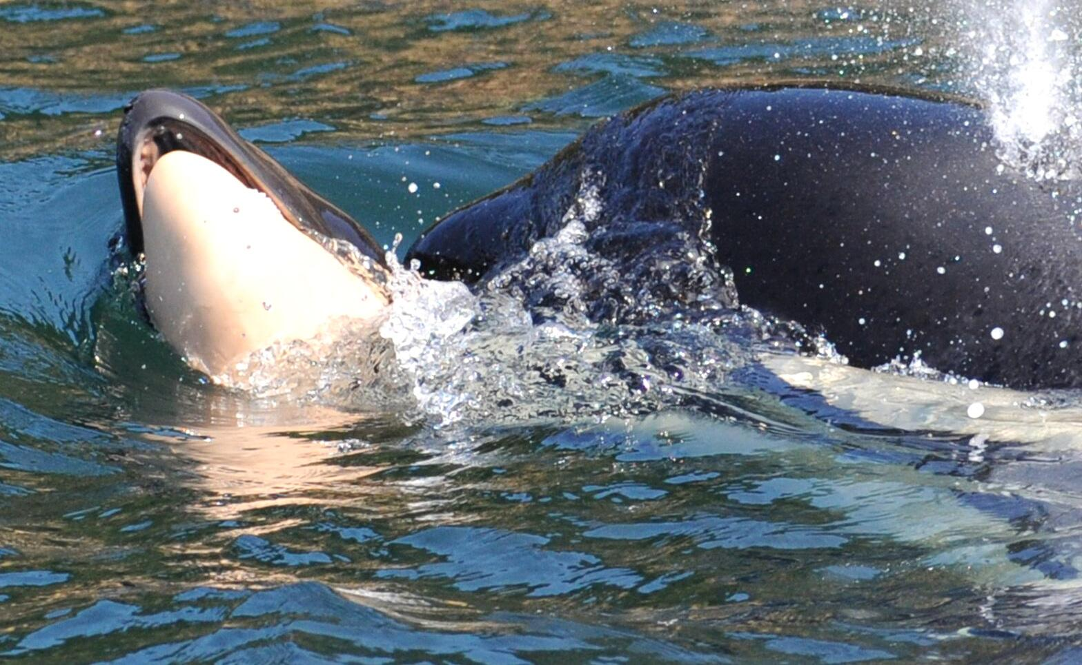 Bild zu Orca-Wal schleppt totes Junges