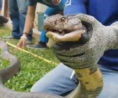 Königskobra