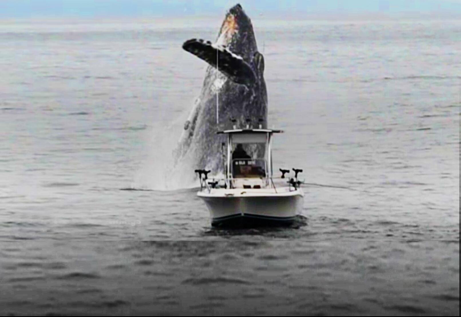 Bild zu Buckelwal, Kanada,