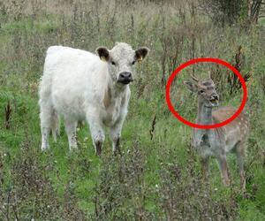 Hirsch lebt mit Rindern