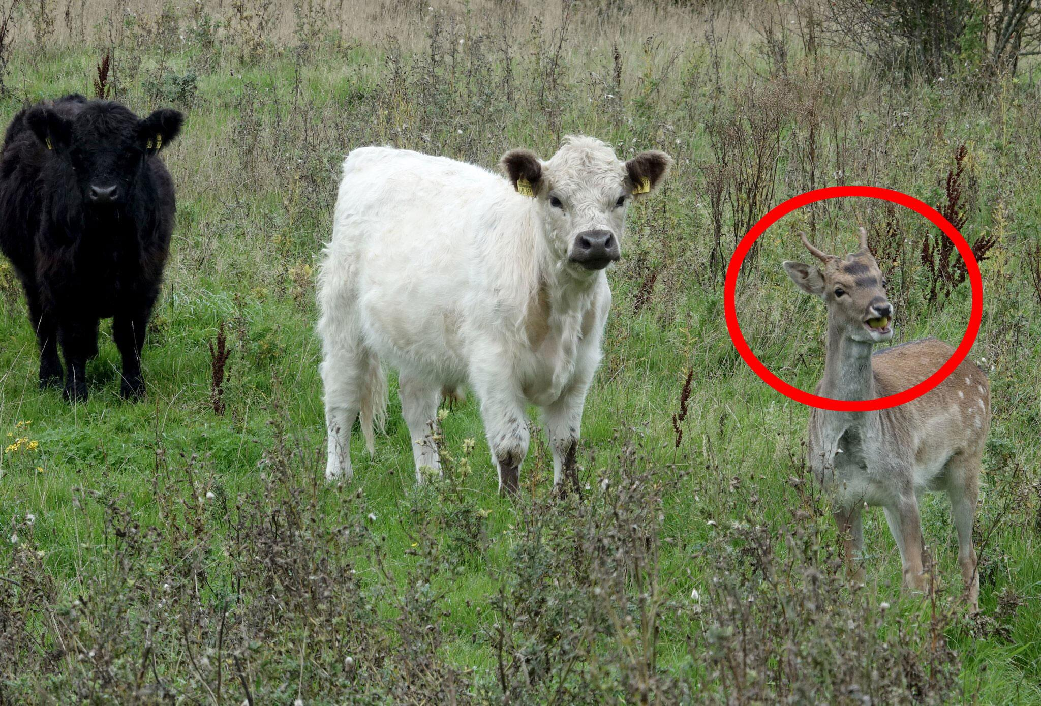 Bild zu Hirsch lebt mit Rindern