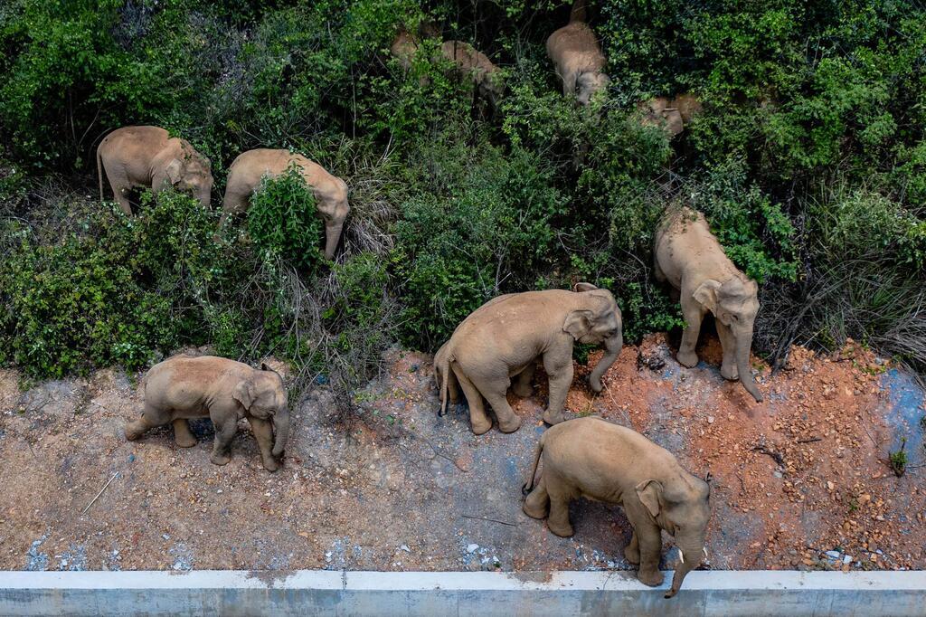 Asiatische Elefanten auf Wanderschaft in China
