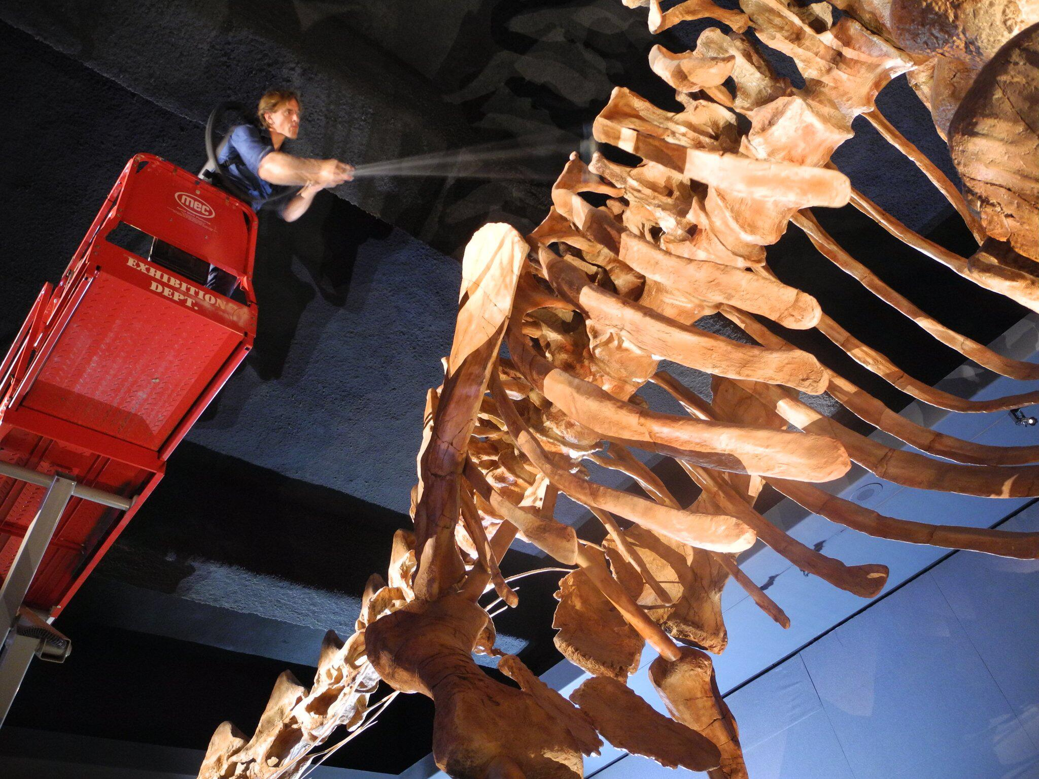 Bild zu Cleaning of the largest known dinosaur skeleton