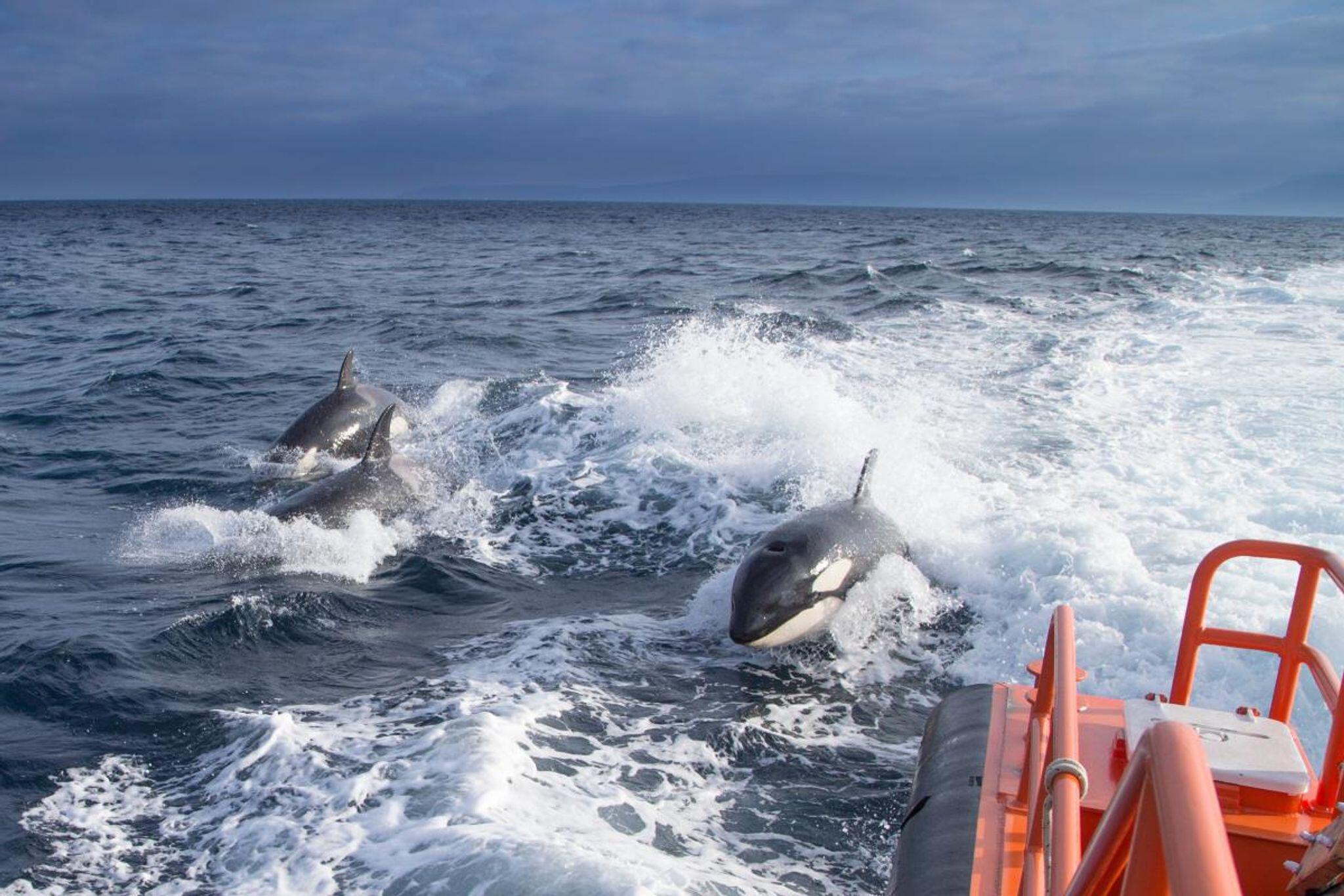 Bild zu Mysteriöse «Killerwal»-Attacken in Spanien