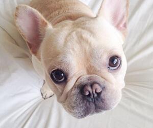 Französische Bulldogge, Instagram