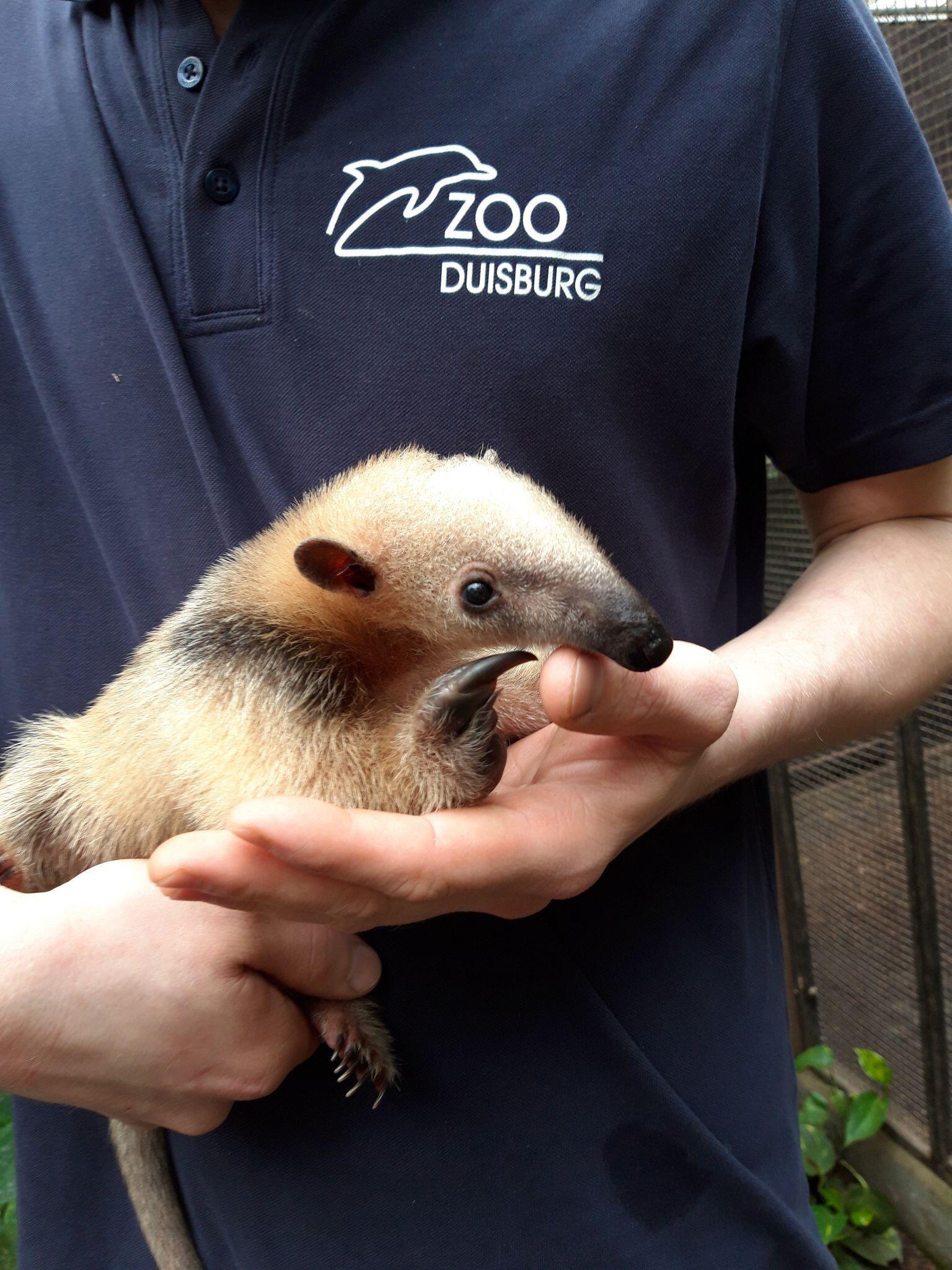 Bild zu Zoo Duisburg: Niedlicher Nachwuchs bei kleinen Ameisenbären