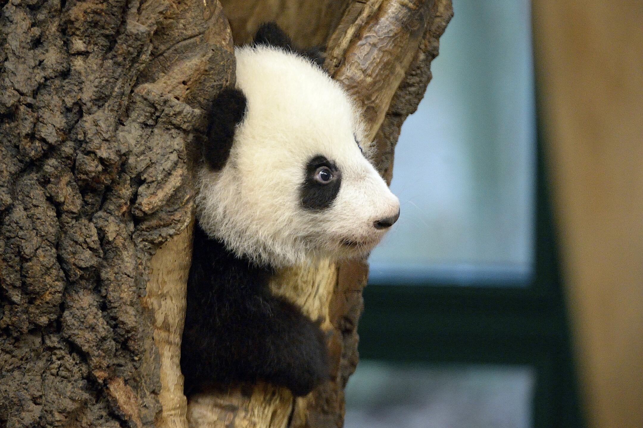 Bild zu Pandas