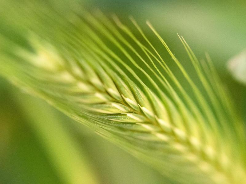 Bild zu Getreide