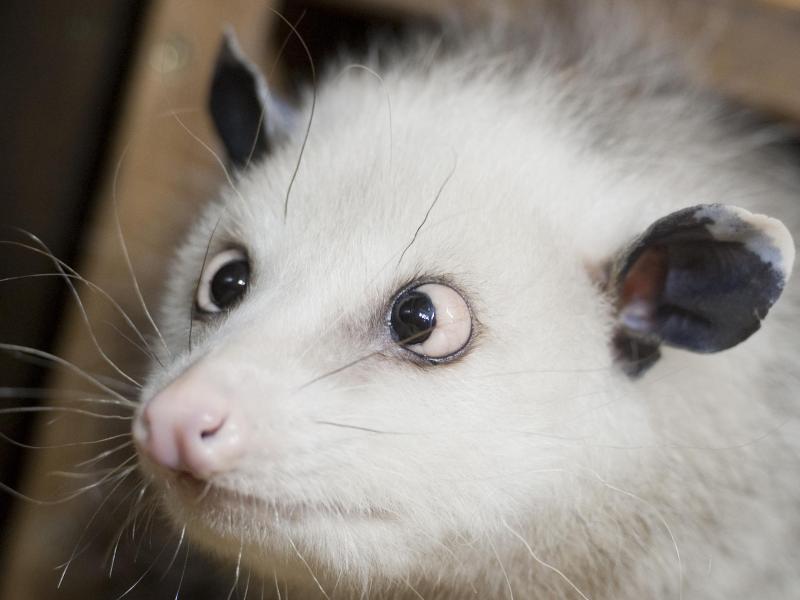 Bild zu Opossum Heidi