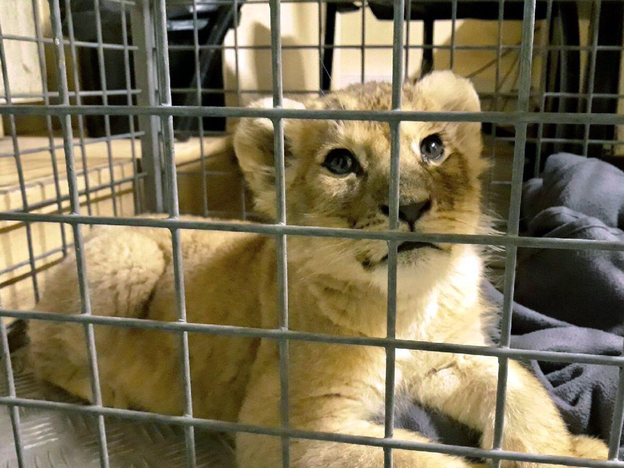 Bild zu Löwenbaby in Luxusauto auf Pariser Prachtstraße gefunden