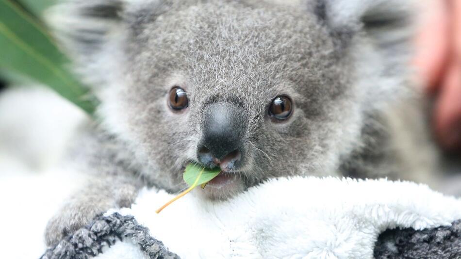 Studie: Zahl der Koalas in Australien sinkt rapide