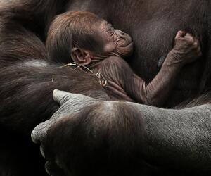Gorilla-Nachwuchs im Zoo von Dublin