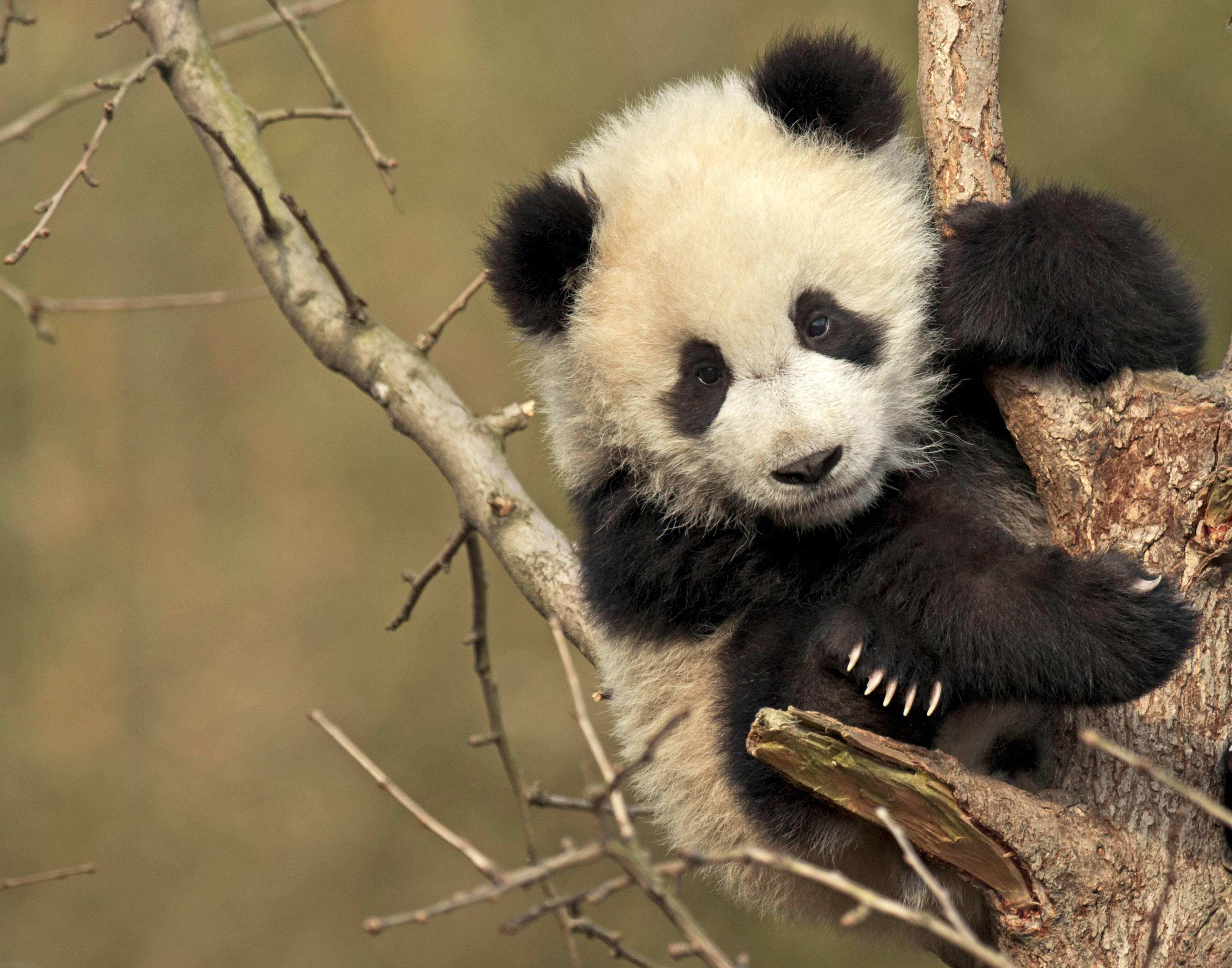Bild zu Riesenpanda