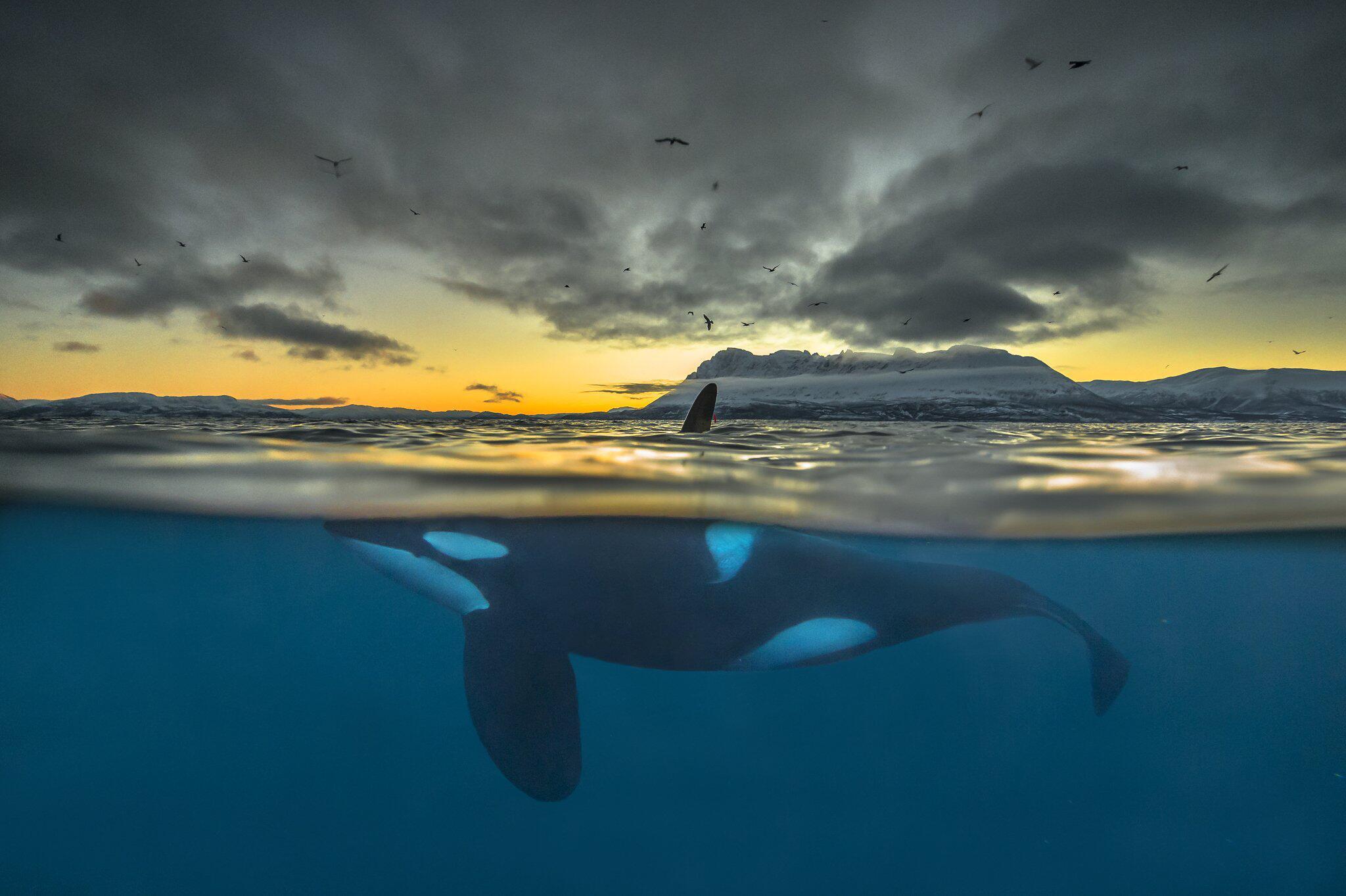 Bild zu Schwertwale vor Norwegen