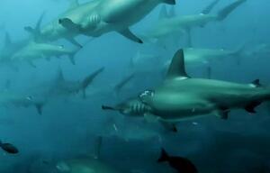 Hammerhaie