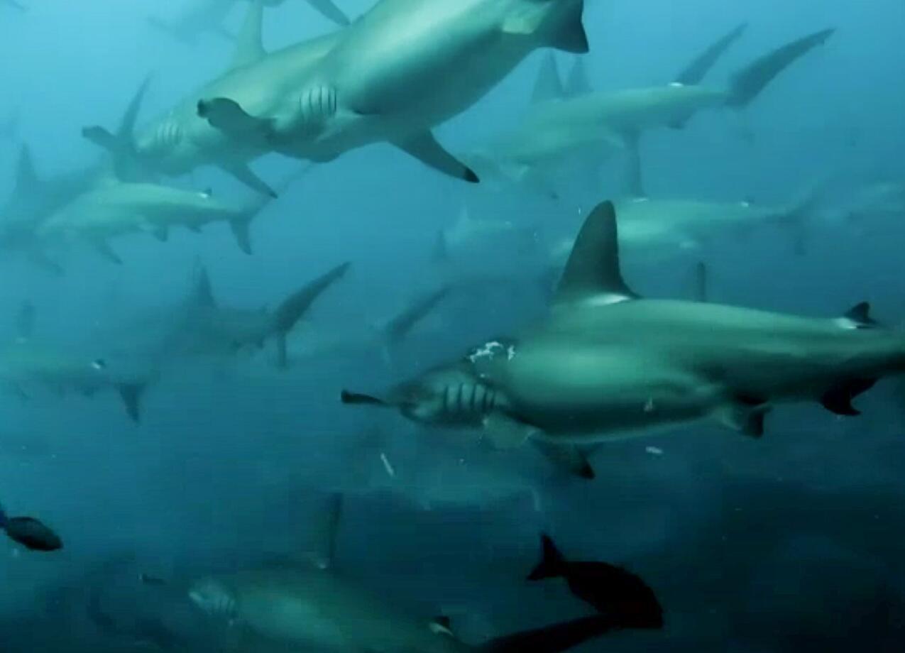 Bild zu Hammerhaie