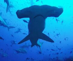 Galapagos-Insel, Haie, Hammerhaie