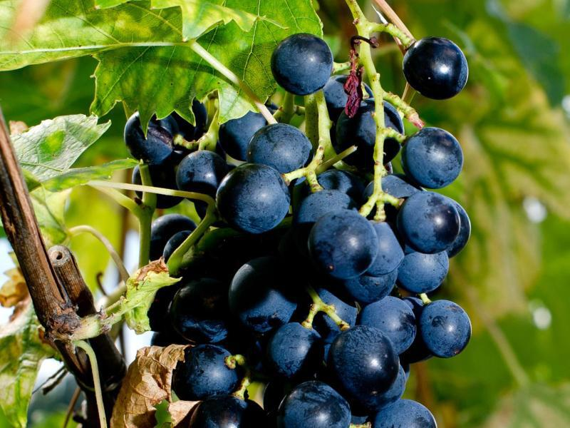 Bild zu Reife, rote Weintrauben