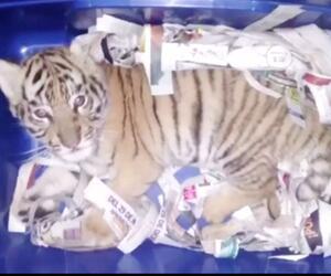 Tigerbaby in der Post