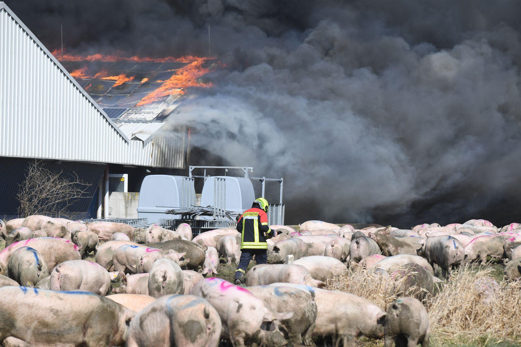 Bild zu Feuer in Schweinezuchtbetrieb