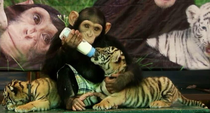 Bild zu Thailand, Tigerbabys, Affe