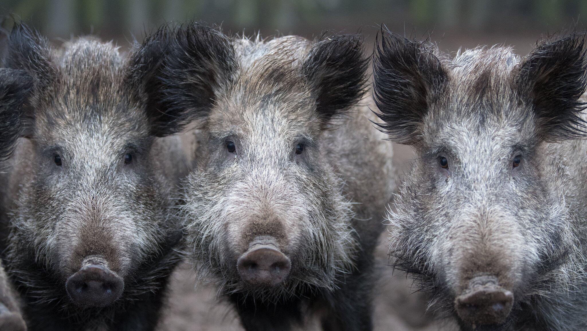 Bild zu Wildschweine