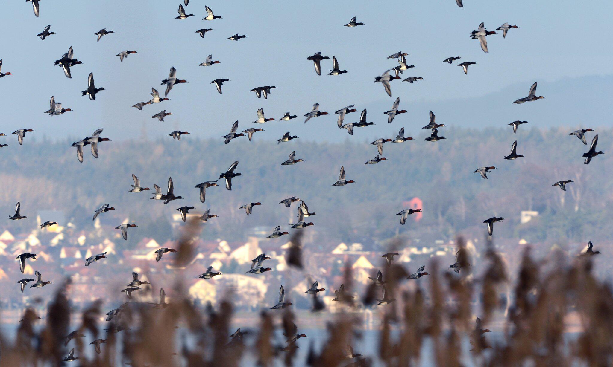 Bild zu Vögel am Bodensee
