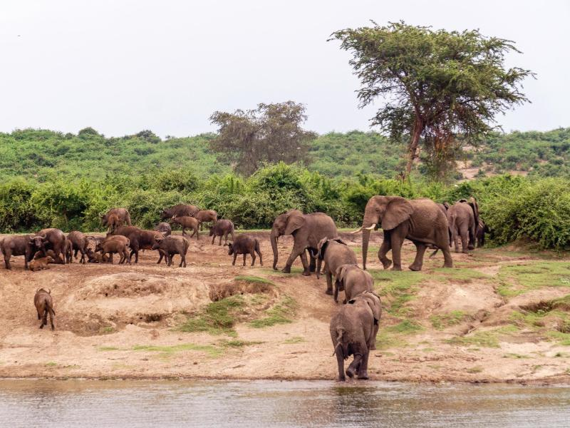 Bild zu Elefantenherde am Kazinga-Kanal
