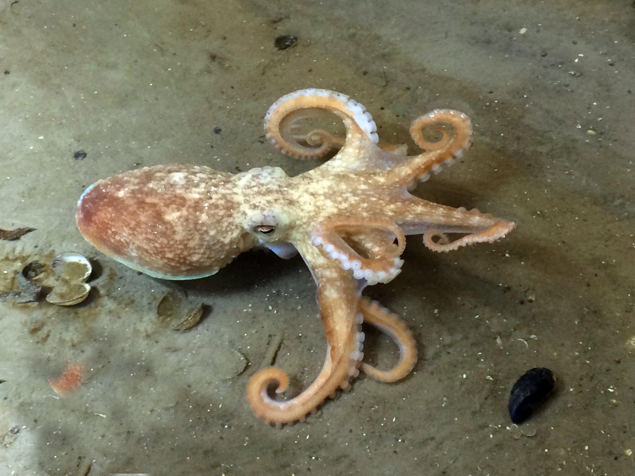 Bild zu Zirrenkrake im Wattenmeer gefunden