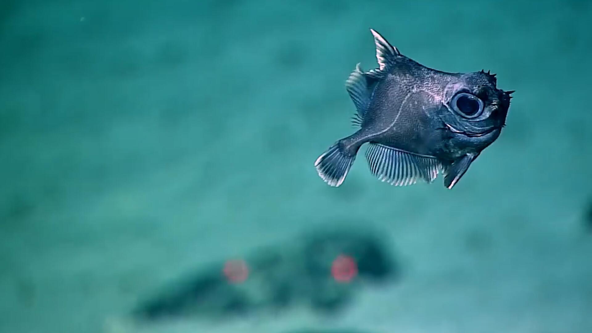 Bild zu Paradiesvögel vom Meeresgrund: So sieht das Leben in 1200 Metern Tiefe aus