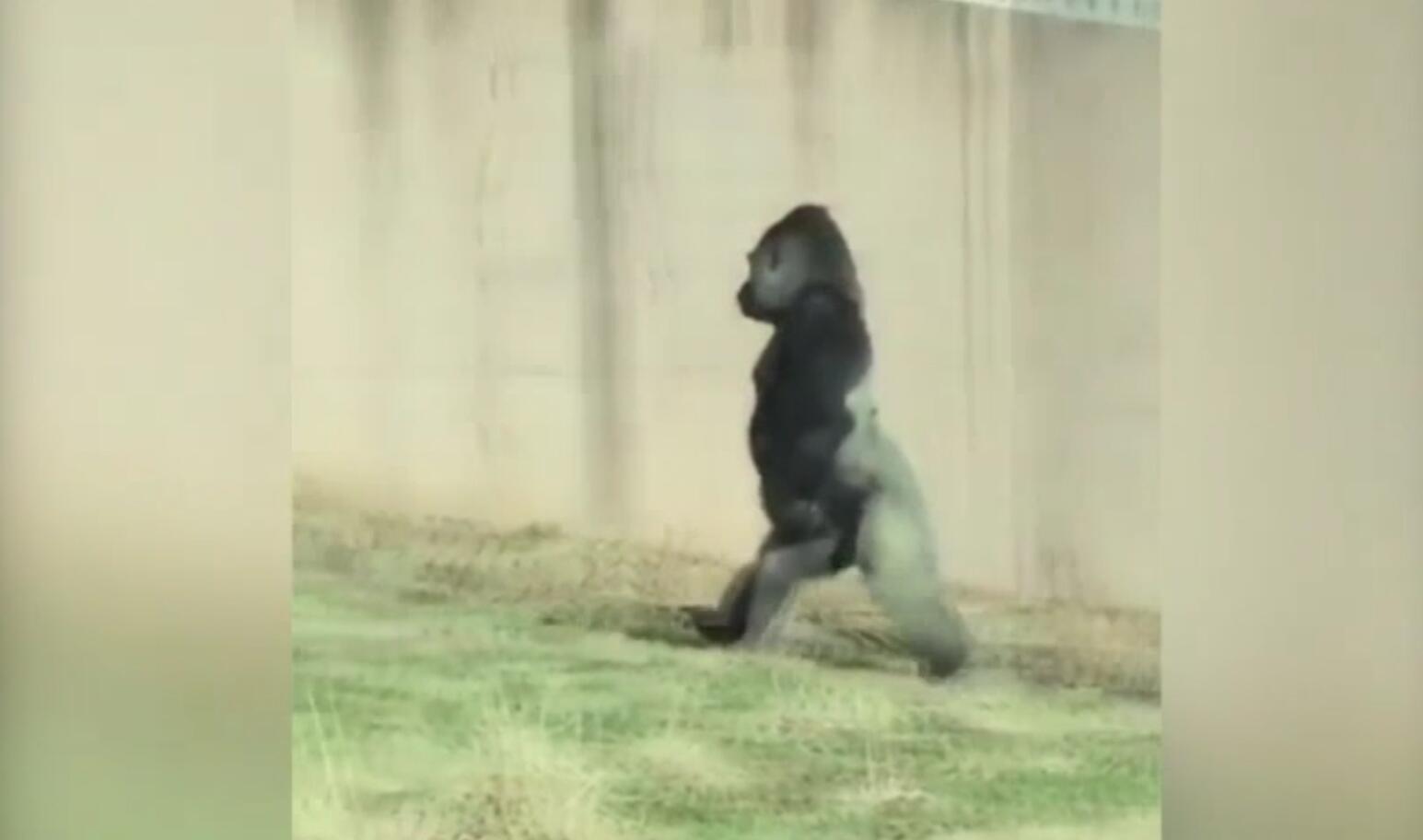 Bild zu Wie ein Mensch: Gorilla marschiert auf zwei Beinen