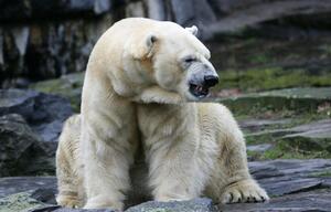 Eisbärin Aika im Tierpark verstorben