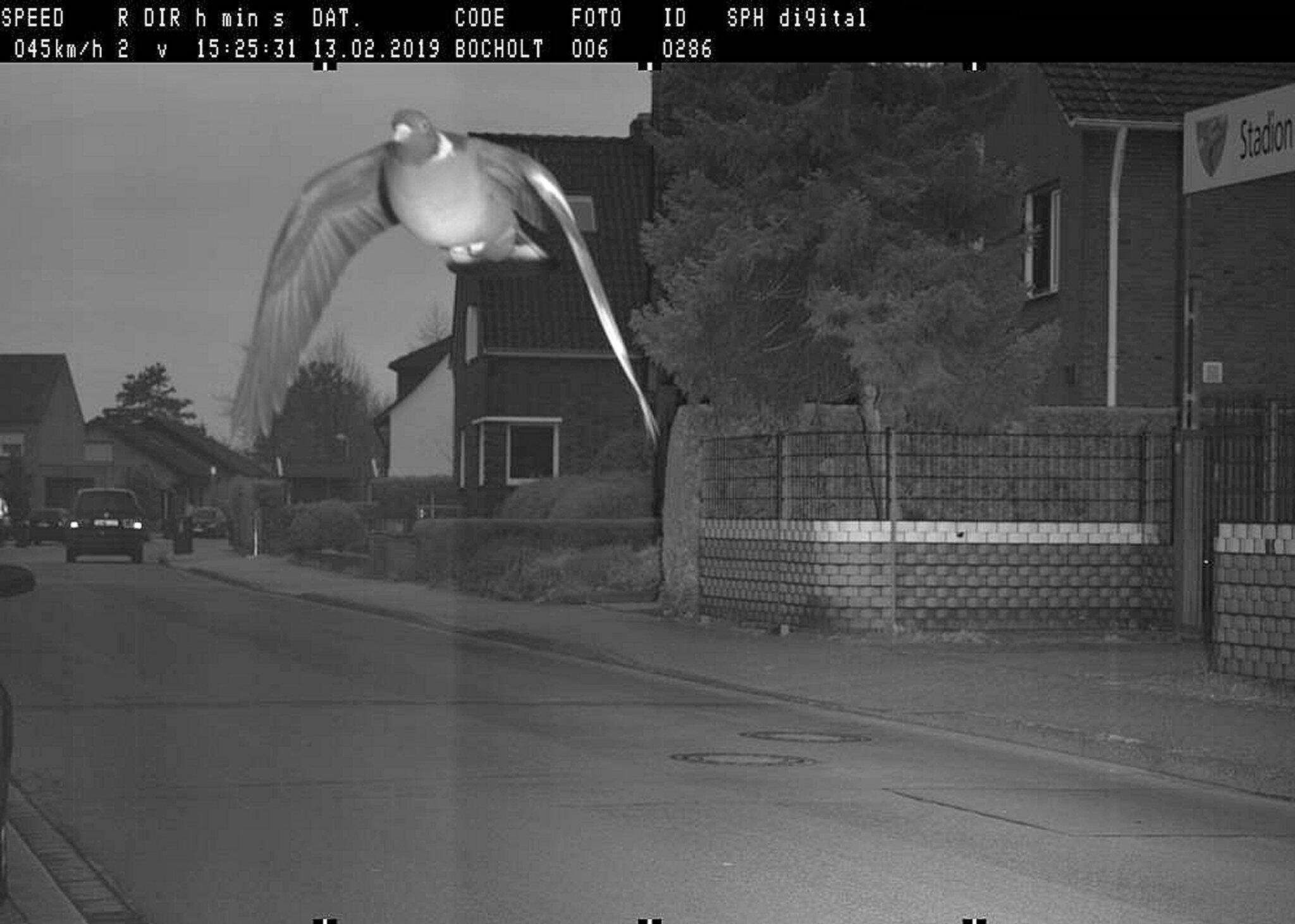 Bild zu Geblitzt: Stadt Bocholt erwischt rasende Taube