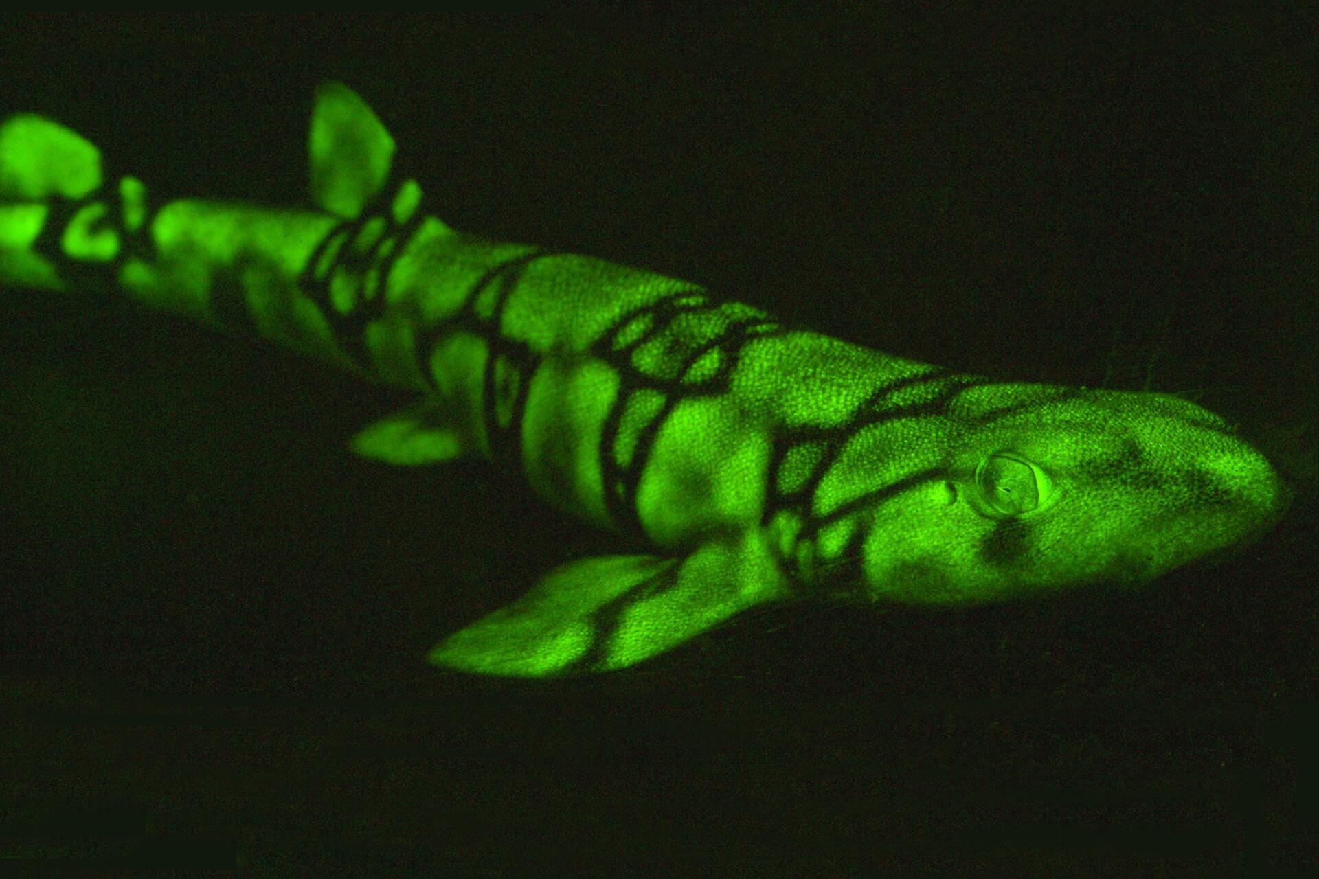 Bild zu Biofluoreszierender Kettenkatzenhai
