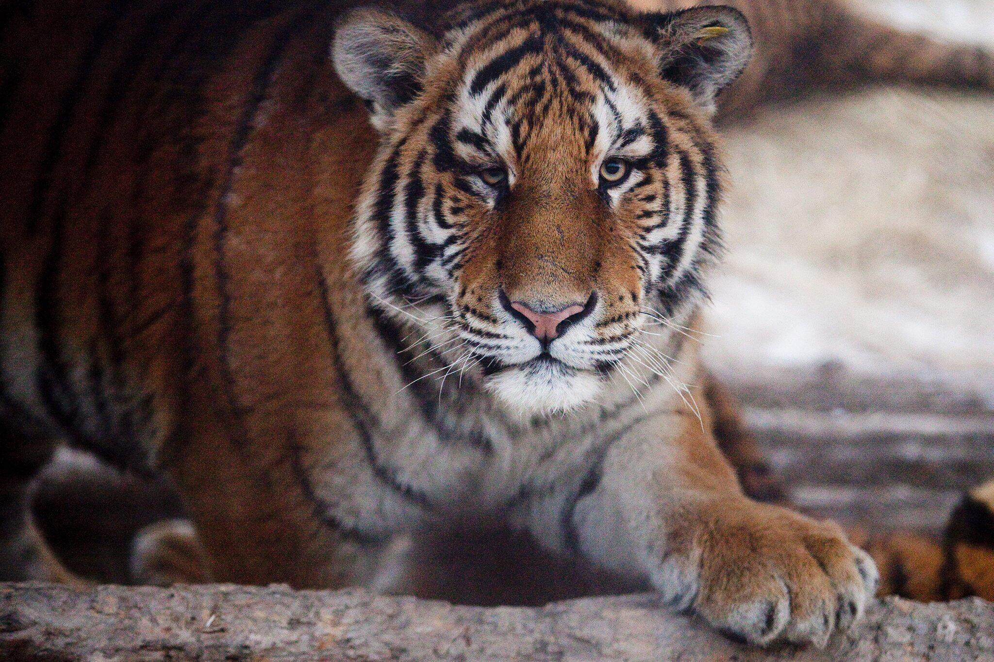 Bild zu China lockert Verbot für Handel mit Nashorn- und Tigerteilen