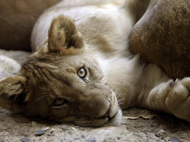 Bild zu Löwenjunges