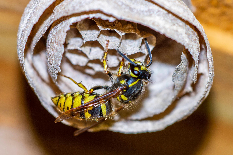 Bild zu Wespen