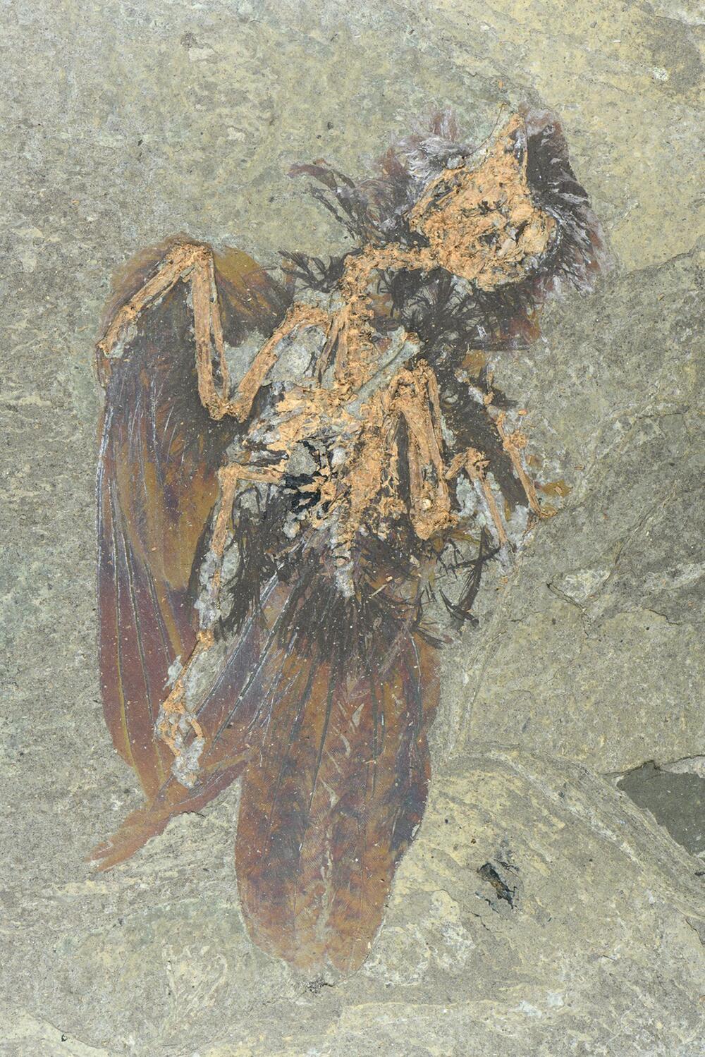 Fossil einer bisher unbekannten Vogelart