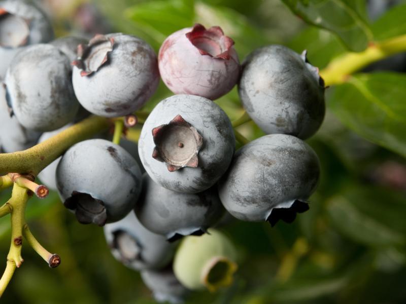 blaubeeren wachsen am besten in rhododendronerde gmx. Black Bedroom Furniture Sets. Home Design Ideas
