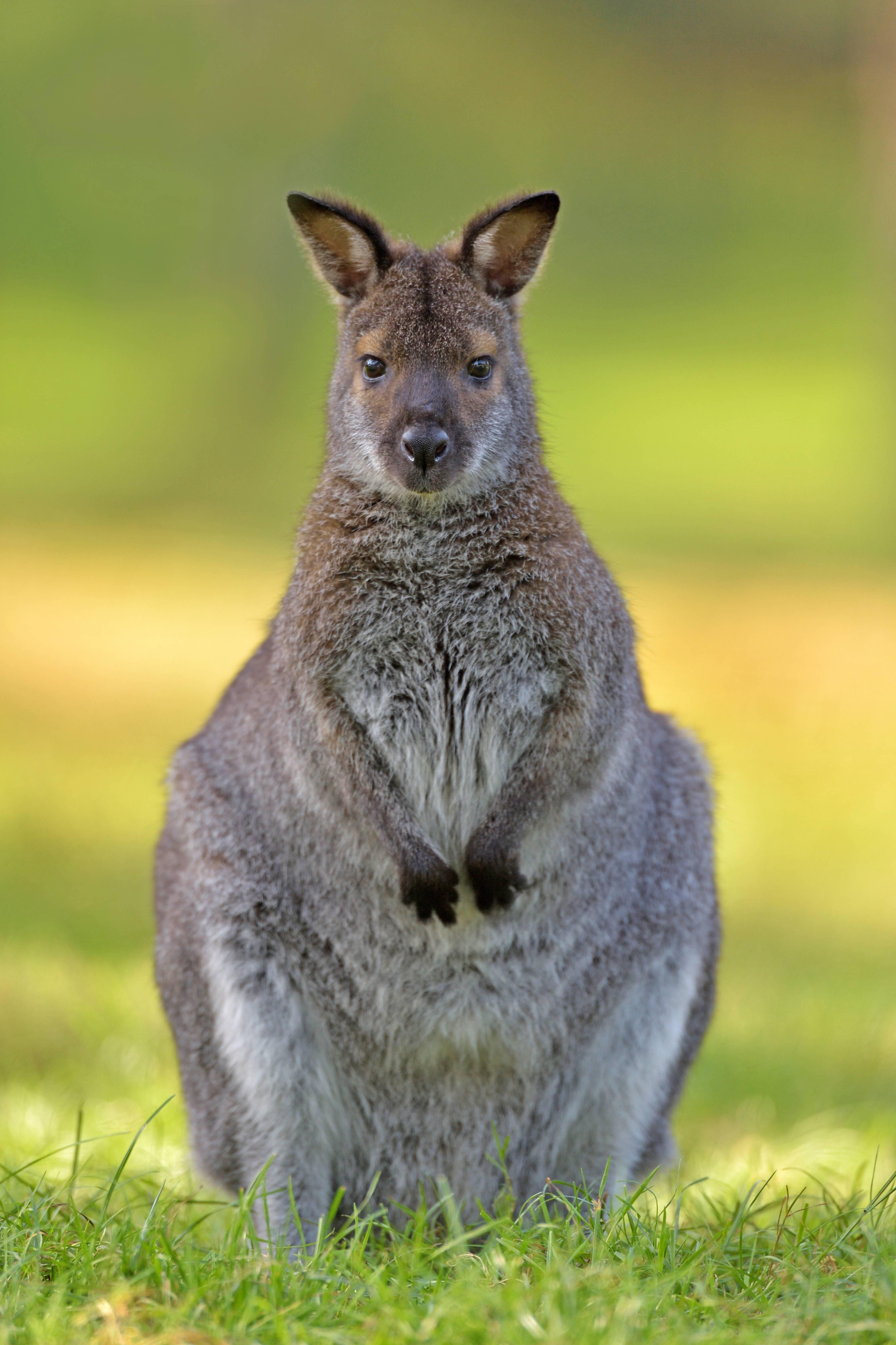 Bild zu Känguru, Simbach